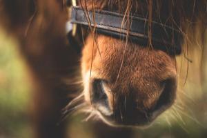 henhorse