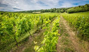 Organic wine field